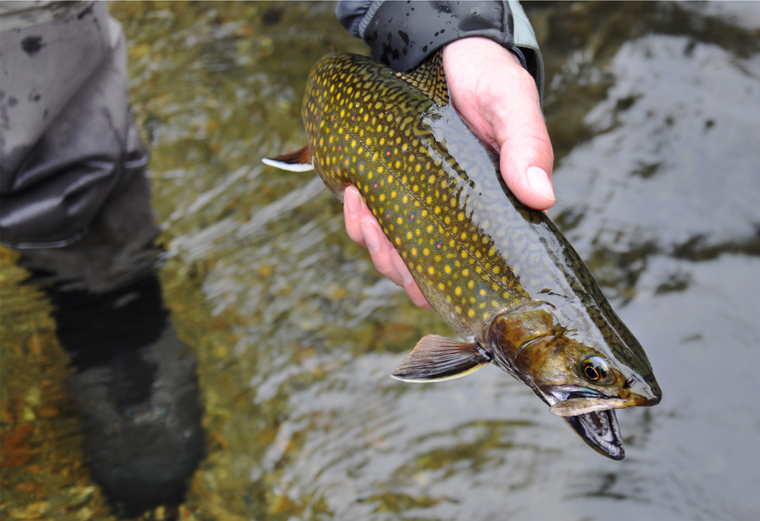 Swift river brookie fresh fish 12 gallery maine fly fish for Swift fly fishing