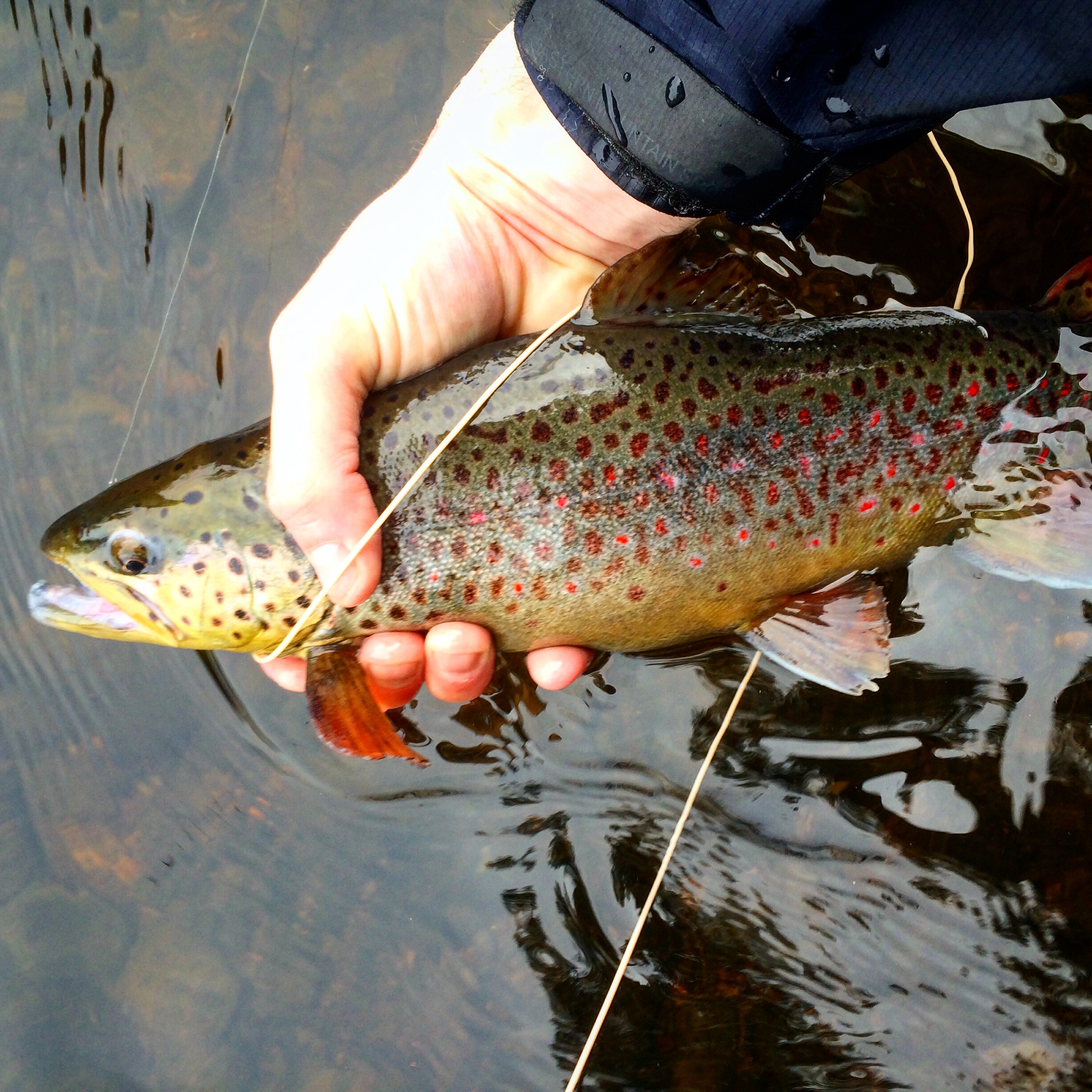 Hatches fly fishing maine fly fish for Maine trout fishing